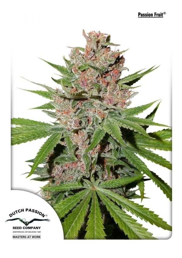 Passion Fruit Feminised Cannabis Seeds by Dutch Passion