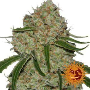 Phantom OG Feminised Cannabis Seeds by Barney's Farm