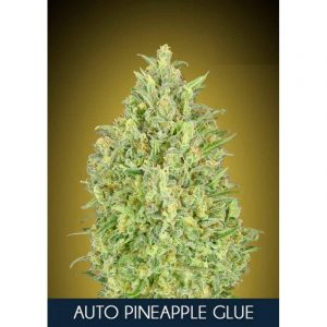Pineapple Glue Auto Feminised cannabis Seeds by Advanced Seeds