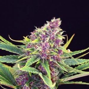 Purple Kush Feminised Cannabis Seeds by Kannabia Seeds