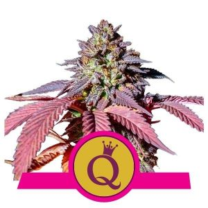 Purple Queen Feminised Cannabis Seeds Royal Queen Seeds