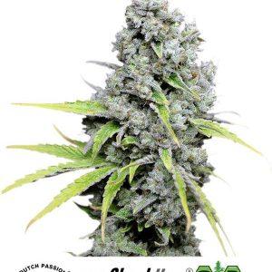 Skunk Haze CBD Feminised Cannabis Seeds by Dutch Passion