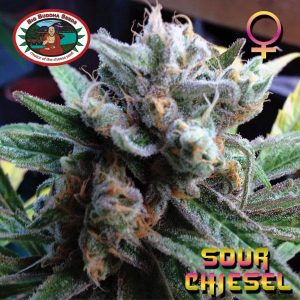 Sour Chiesel Feminised Cannabis Seeds by Big Buddha Seeds