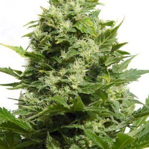 Big Buddha Cheese Feminised Cannabis Seeds by Big Buddha Seeds