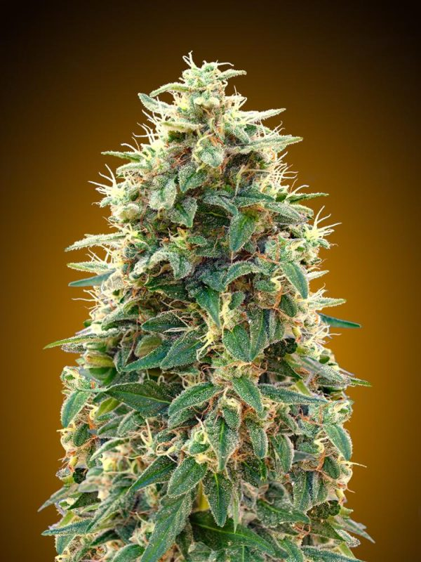 00 Cheese Auto Feminised Cannabis Seeds by 00 Seeds