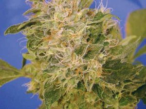 The Hog Regular Seeds von THSeeds