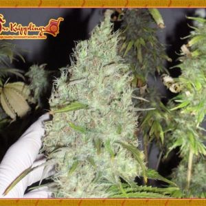 The Incredible Bulk Feminised Cannabis Seeds by Dr Krippling Seeds