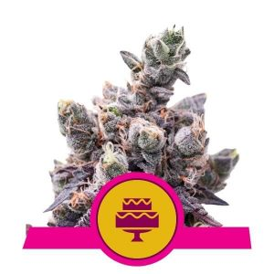 Wedding Gelato Feminised Cannabis Seeds by Royal Queen Seeds