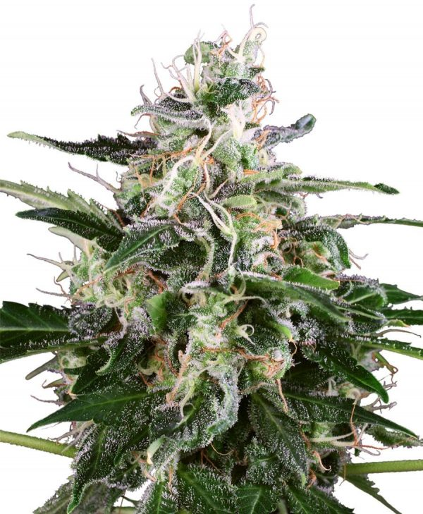 White Skunk Auto Feminised Seeds by White Label Seed Company