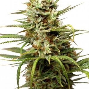 White Widow Auto Feminised Cannabis Seeds by Dutch Passion