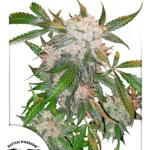 White Widow Regular Seeds by Dutch Passion