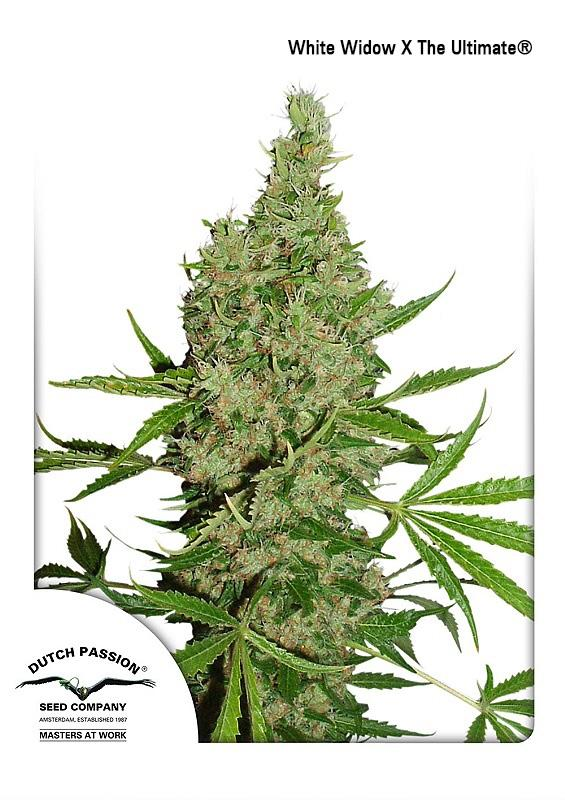 White Widow x The Ultimate Regular Seeds by Dutch Passion