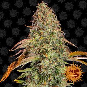 Zkittlez OG Auto Feminised Cannabis Seeds by Barney's Farm