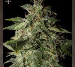 Afgooey Feminised Cannabis Seeds by Strain Hunters