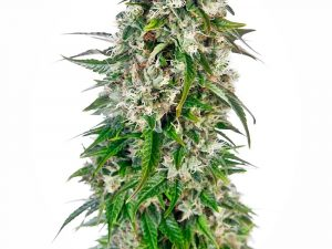 Big Bud Auto Feminised cannabis seeds