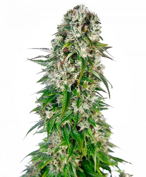 Big Bud Auto Feminised Bulk cannabis seeds