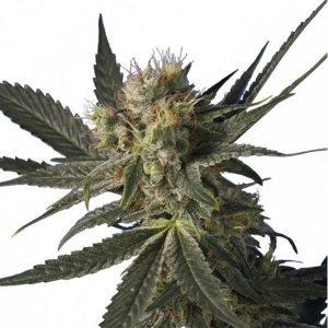 Blue Monster Feminised Bulk cannabis seeds