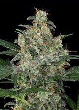 Cheese Auto Feminised Bulk Cannabis Seeds