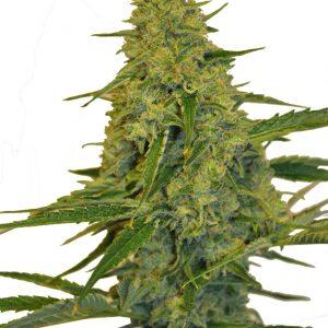 Chem Dawg Feminised Bulk Cannabis Seeds