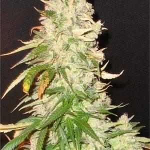 Northern Soul bulk cannabis seeds