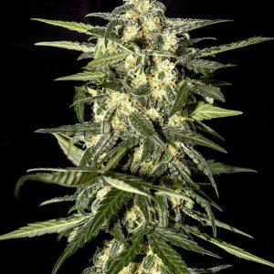 Jack Herer Autoflowering cannabis seeds