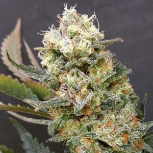 Zkittlez Glue Feminised Cannabis Seeds by Expert Seeds