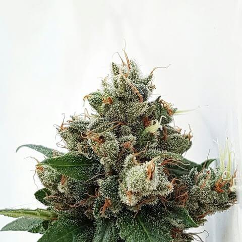 Respect 4 Gorilla Feminised Seeds by Expert Seeds