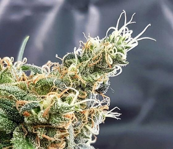 Glueberry Feminised Seeds by Expert Seeds