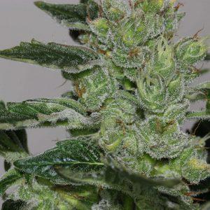 Alaskan Purple Feminised Cannabis Seeds by Seedsman