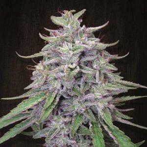 Bangi Haze Feminised Cannabis Seeds by Ace Seeds