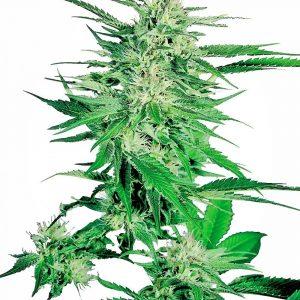 Big Bud Feminised Cannabis Seeds by Sensi Seeds