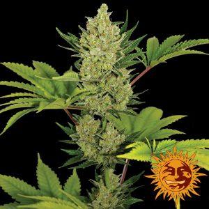 Blueberry Cheese Auto Feminised Cannabis Seeds by Barney's Farm Seeds