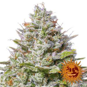 Blue Gelato 41 Feminised Cannabis Seeds by Barney's Farm Seeds