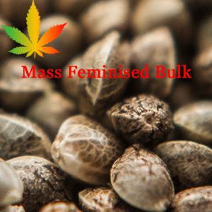 Mass Feminised Bulk Seeds