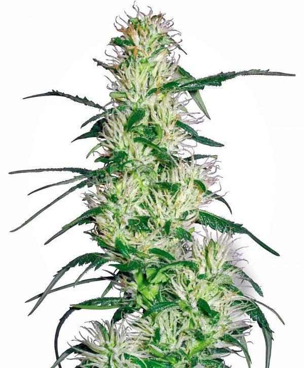 Purple Haze Autoflowering cannabis seeds