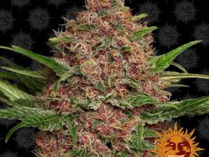Purple Punch Auto Feminised Cannabis Seeds da Barney & #039; s Farm Seeds