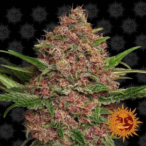 Purple Punch Auto Feminised Cannabis Seeds by Barney's Farm Seeds
