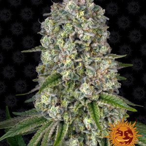 Tropicanna Banana cannabis seeds by Barney's Farm