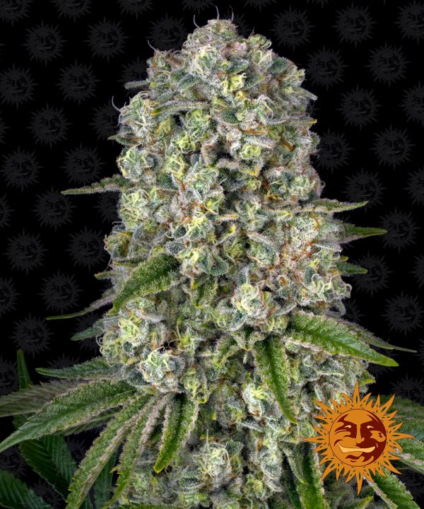 Tropicanna Banana cannabis seeds by Barney's Farm