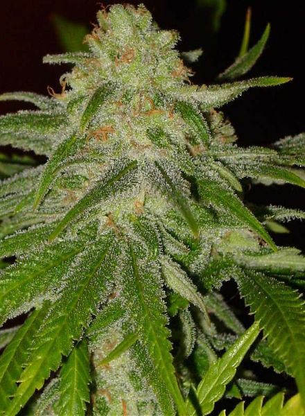 Cinderella 99 Feminised cannabis Seeds by BC Bud Depot