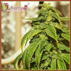 D'oh Si D'ohpe Feminised Cannabis Seeds by Dr Krippling Seeds