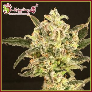 Dolly Kush Feminised Cannabis Seeds by Dr Krippling Seeds