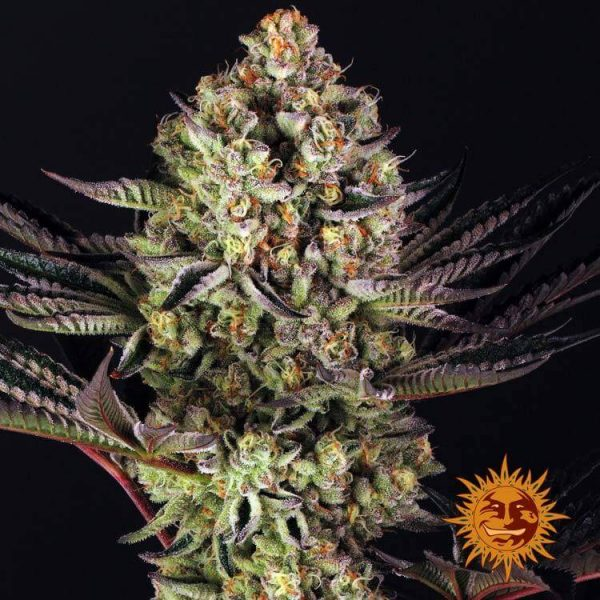 Dos-Si-Dos 33 Cannabis seeds by Barney's farm
