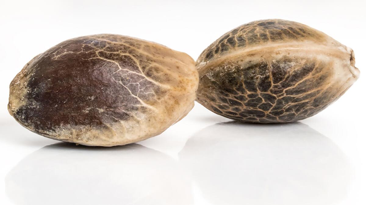 Kiełkowanie nasion konopi - szybka naprawa