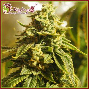 Glue Kripple Feminised Cannabis Seeds by Dr Krippling Seeds