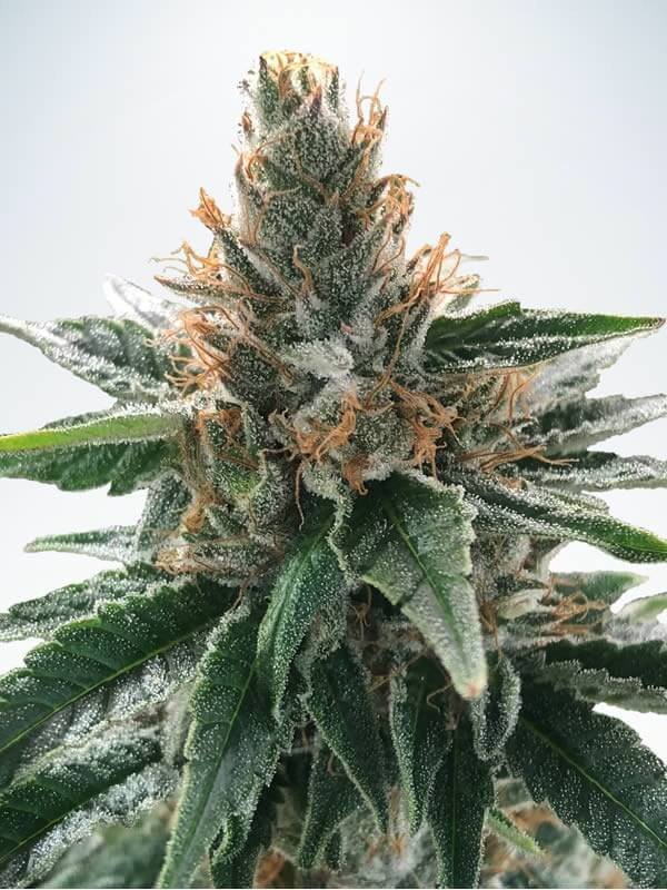 God's Glue Feminised Cannabis Seeds by Ministry of Cannabis