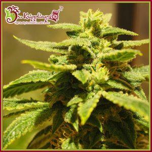 Krippling's Gelato Feminised Cannabis Seeds by Dr Krippling Seeds