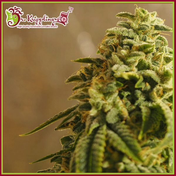 Sherbert Gorilla Feminised Cannabis Seeds by Dr Krippling Seeds