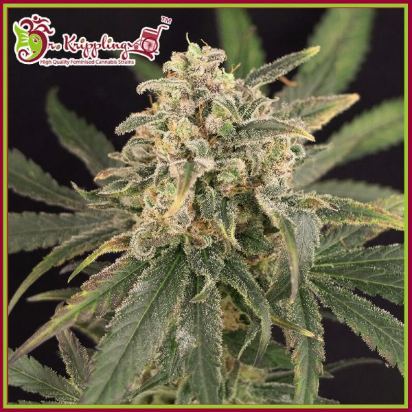 Sour Tang Kripple Feminised Cannabis Seeds by Dr Krippling Seeds