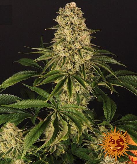 Tropicanna Banana Feminised Cannabis Seeds by Barney's Farm Seeds